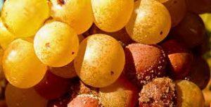 Raisins - Sauternes
