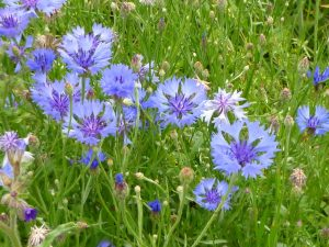 Fleur de bleuet utilisée en cuisine